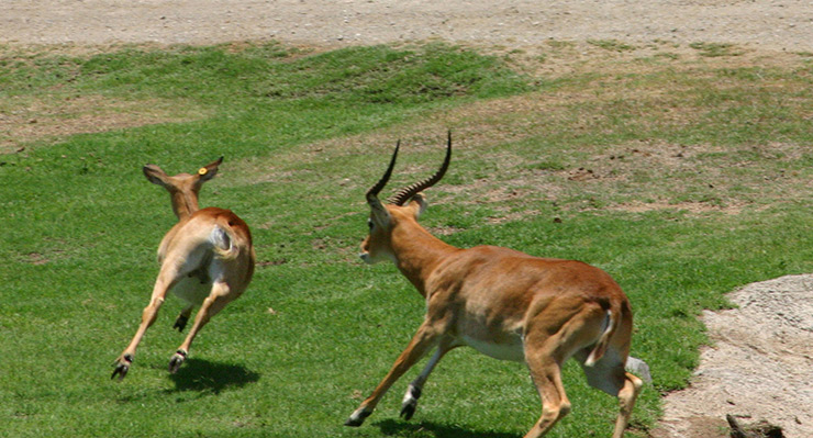 One Antelope chasing another at San Diego Zoo Safari Park